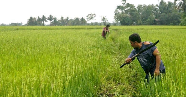 NFA pinadali ang pagbili ng palay sa Pangasinan
