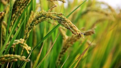 Photo of Rice Tariffication Law Provides Silver Lining for Farmers